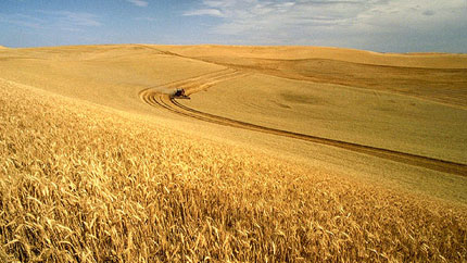 wheat-field-harvest