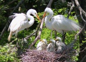 great-egret-family-nest-ng-01